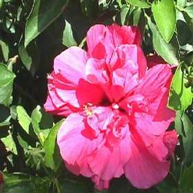 GREENLEAF NURSERY 2909.013.1 Double Classic Pink Hibiscus #1 Pot