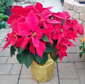 Color Star Growers 10662 Poinsettia 10 in 1.73 Gal