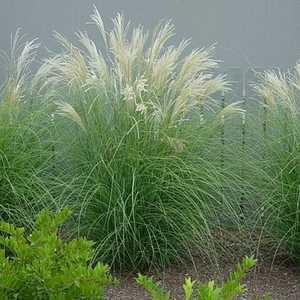 Greenleaf Nursery-OK 4500.010.1 #1 Adagio Maiden Grass