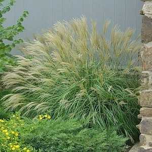 Greenleaf Nursery-OK 4501.010.1 #1 Graziella Maiden Grass