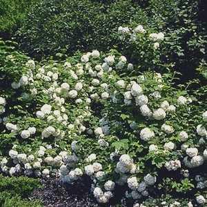 Greenleaf Nursery-OK 6840.010.1 #1 Eastern Snowball Viburnum