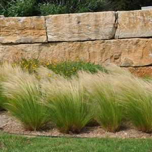 Greenleaf Nursery-OK 4419.010.1 #1 Mexican Feather Grass
