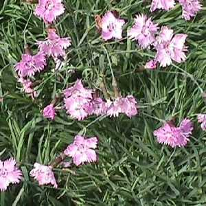 Greenleaf Nursery-OK 9363.007.1 Quart Bath's Pink Dianthus