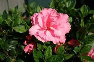 Greenleaf Nursery-OK 4636.081.1 8DP Bloom-A-Thon Pink Double Azalea