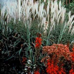 Greenleaf Nursery-OK 4502.010.1 #1 Flame Grass