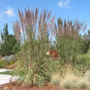 Greenleaf Nursery-OK 2210.010.1 #1 Hardy Pampas Grass