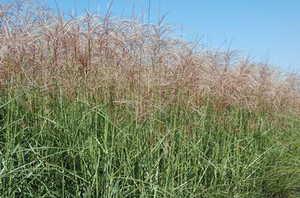 Greenleaf Nursery-OK 4479.010.1 #1 Red Silver Maiden Grass