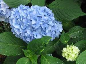 Greenleaf Nursery-OK 3978.051.1 5dp Nantucket Blue Hydrangea