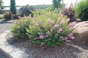 Greenleaf Nursery-OK 5242.031.1 3dp Princess Lyla Crape myrtle