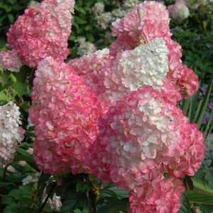Greenleaf Nursery-OK 5187.021.1 2DP Vanilla Strawberry Hydrangea