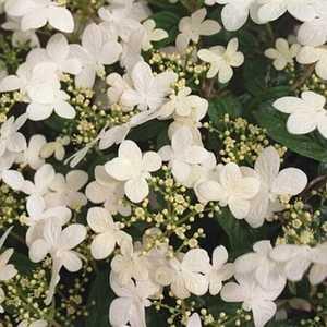 Greenleaf Nursery-OK 6905.050.1 #5 Summer Snowflake Doublefile Viburnum