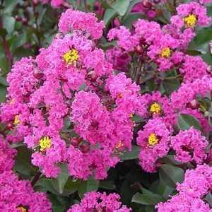 Greenleaf Nursery-OK 3757.050.1 #5 Pink Velour Crape Myrtle