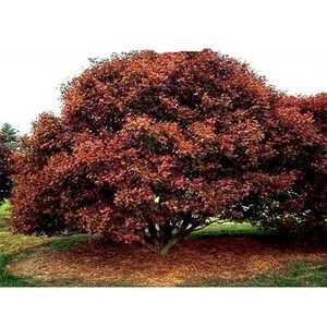 Greenleaf Nursery-OK 8122.030.1 #3 Bloodgood Japanese Maple