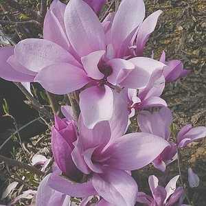 Greenleaf Nursery-OK 8350.070.1 #7 Ann Magnolia