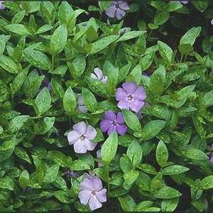 Greenleaf Nursery-OK 6940.010.1 #1 Vinca Minor