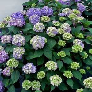 Greenleaf Nursery-OK 5929.021.1 2dp Endless Summer Bloomstruck Hydrangea