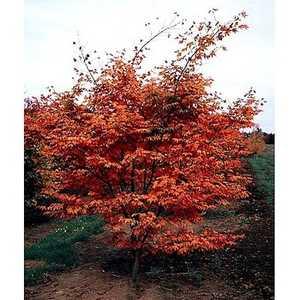Greenleaf Nursery-OK 8124.030.1 #3 Oshio-Beni Japanese Maple