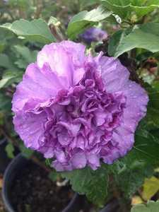 Greenleaf Nursery-OK 5509.011.1 #1 Blueberry Smoothie Althea