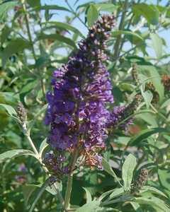 Greenleaf Nursery-OK 4853.011.1 #1 Asian Moon Butterfly Bush