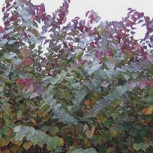 Greenleaf Nursery-OK 2499.070.1 #7 Burgundy Hearts Redbud