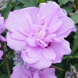 Greenleaf Nursery-OK 2960.010.1 #1 Double Purple Althea