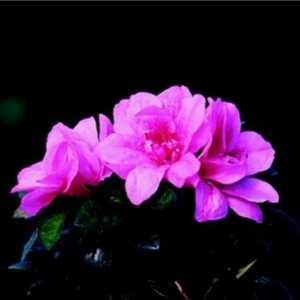 Greenleaf Nursery-OK 1599.081.1 8dp Autumn Empress Encore Azalea