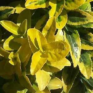Greenleaf Nursery-OK 2480.010.1 #1 Golden Euonymus
