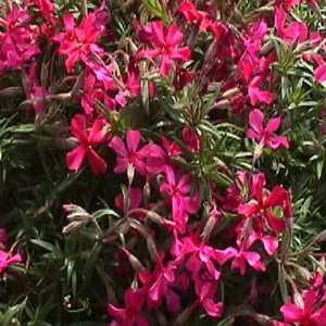 Greenleaf Nursery-OK 4802.010.1 #1 Creeping Red Phlox