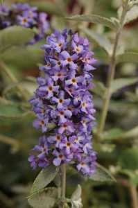 Greenleaf Nursery-OK 4227.031.1 3dp Blue Heaven Butterfly Bush