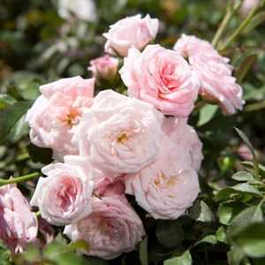 Greenleaf Nursery-OK 4388.081.1 8dp Sweet Drift Rose