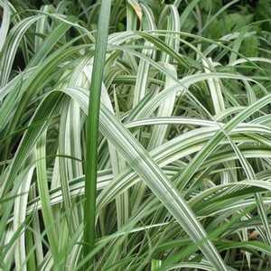 Greenleaf Nursery-OK 4372.010.1 #1 Silver Dragon Liriope