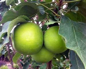 Greenleaf Nursery-OK 5136.031.1 #3 Tangy Green Urban Apple
