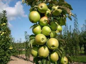 Greenleaf Nursery-OK 5134.031.1 #3 Blushing Delight Urban Apple
