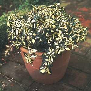 Greenleaf Nursery-OK 2430.010.1 #1 Moonshadow Euonymus