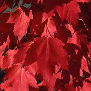 Greenleaf Nursery-OK 8090.070.1 #7 Red Sunset Maple