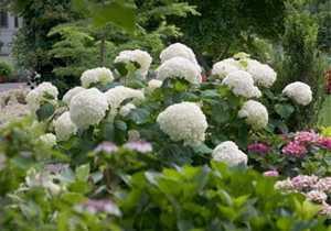 Greenleaf Nursery-OK 3566.031.1 3dp Incrediball Hydrangea