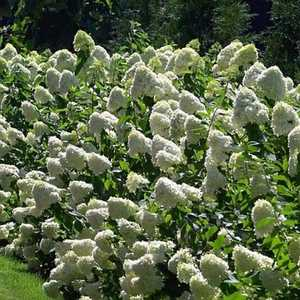 Greenleaf Nursery-OK 0749.031.1 3dp Limelight Hydrangea
