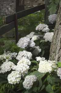 Greenleaf Nursery-OK 1929.081.1 8dp Endless Summer Blushing Bride Hydrangea