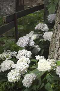 Greenleaf Nursery-OK 1929.031.1 3dp Endless Summer Blushing Bride Hydrangea