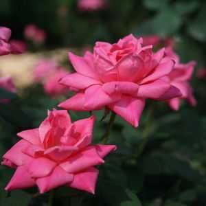 Greenleaf Nursery-OK 2356.031.1 3dp Pink Double Knock Out Rose