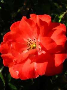 Greenleaf Nursery-OK 3649.008.1 8dp Coral Drift Rose