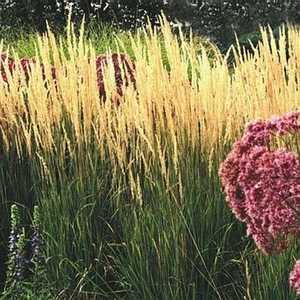 Greenleaf Nursery-OK 4733.030.1 #3 Karl Foerster Feather Reed Grass