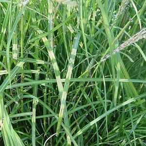 Greenleaf Nursery-OK 1110.010.1 #1 Little Zebra Maiden Grass