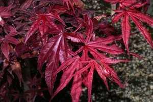 Greenleaf Nursery-OK 0693.070.1 #7 Emperor Japanese Maple