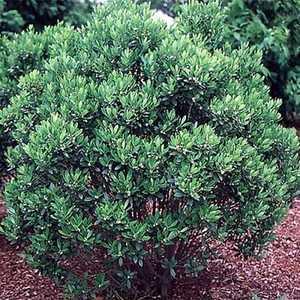 Greenleaf Nursery-OK 3614.030.1 #3 Shamrock Compact Inkberry