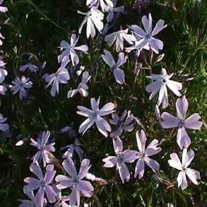 Greenleaf Nursery-OK 4798.007.1 Quart Creeping Blue Phlox