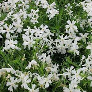 Greenleaf Nursery-OK 4804.007.1 Quart Creeping White Phlox