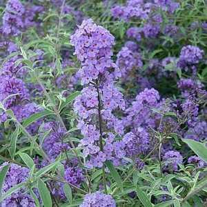 Greenleaf Nursery-OK 1666.010.1 #1 Nanho Blue Compact Butterfly Bush