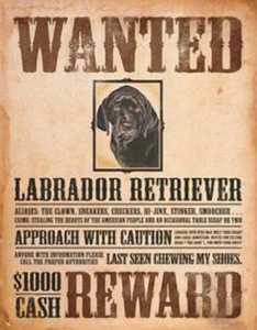 Nostalgic Images OD-1148 Labrador Retriever Wanted Metal Sign