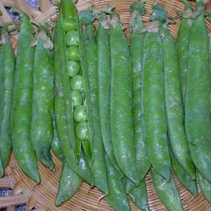 Plantation Products 3201 Green Arrow Pea